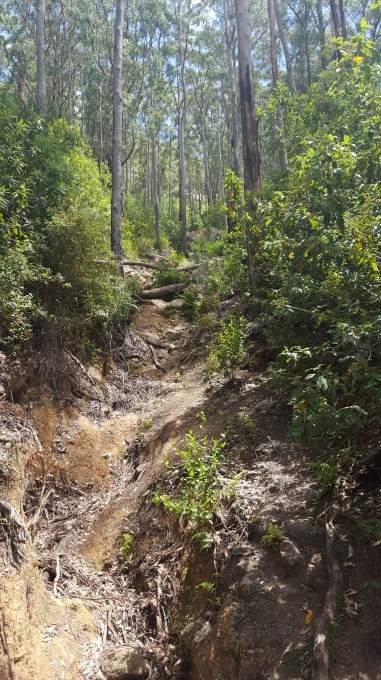 Walking through the lush gum forest of the Mt Oberon Track.